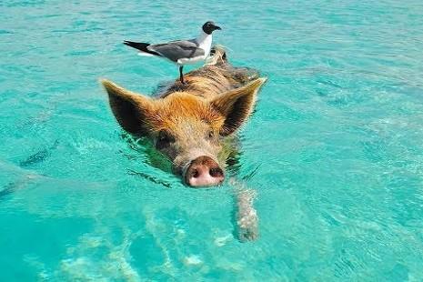 Big Mayor Cay: la playa de los cerdos nadadores